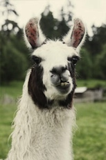 Llama on The Clearing's Working Farm