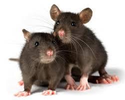 lab-rat.jpg