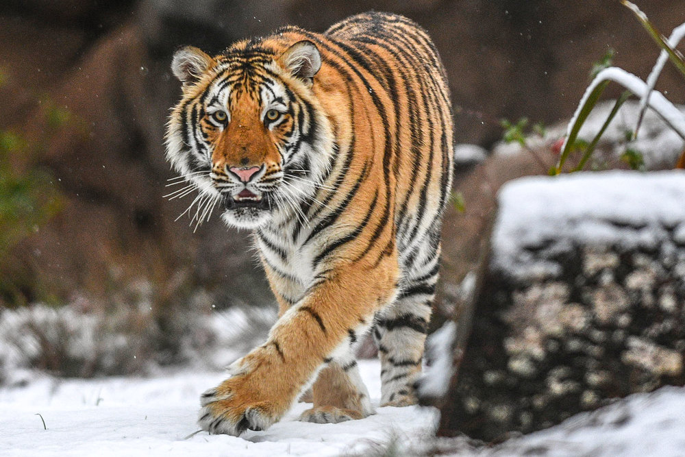 tiger-relapse-addiction