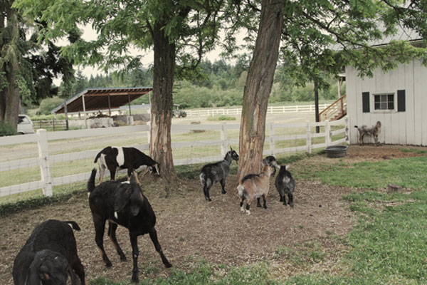 Goats on Our Working Farm and Animal Sanctuary